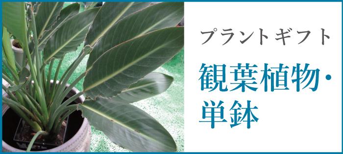 観葉植物・単鉢